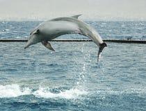 跳跃的海豚 免版税库存图片