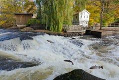 跳跃的海鳟在Morrum河 免版税库存图片