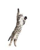 跳跃的灰色虎斑猫 免版税库存图片