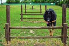 跳跃的狗,敏捷性在布尔诺 免版税库存照片
