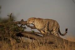 跳跃的猎豹 免版税库存图片