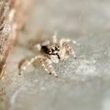 跳跃的蜘蛛。 图库摄影