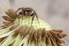 跳跃的蜘蛛和蒲公英 库存照片