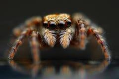 跳跃的蜘蛛特写镜头 库存图片