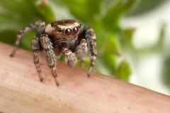 跳跃的蜘蛛走 免版税库存照片