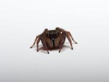 跳跃的蜘蛛 库存图片