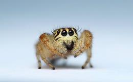 跳跃的蜘蛛 免版税库存图片