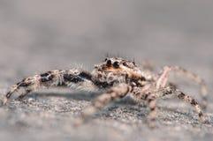 跳跃的蜘蛛 库存照片