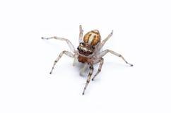 跳跃的蜘蛛 免版税库存照片
