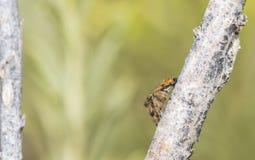 跳跃的蜘蛛(Salticidae)在西部的Rabbitbrush分支单 库存图片