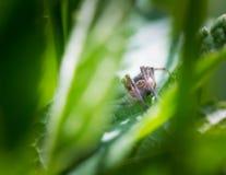 跳跃的蜘蛛(Salticus scenicus)画象 免版税库存图片
