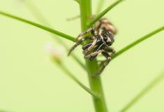 跳跃的蜘蛛- Salticus scenicus 免版税库存照片