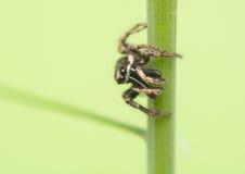 跳跃的蜘蛛- Salticus scenicus 库存照片