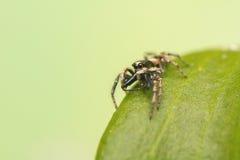 跳跃的蜘蛛- Salticus scenicus 免版税图库摄影