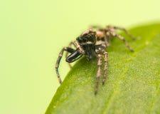 跳跃的蜘蛛- Salticus scenicus 免版税库存图片