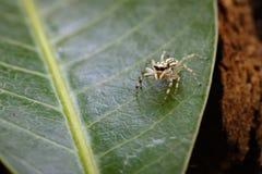 跳跃的蜘蛛eyes& x28的图象; Salticidae& x29; 图库摄影