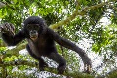 跳跃的青少年倭黑猩猩画象在树的在自然生态环境 库存照片
