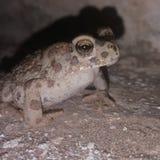 跳跃的青蛙 库存照片