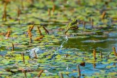 跳跃的青蛙 图库摄影