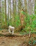 跳跃的马尔他shih tzu混杂的狗 免版税库存照片