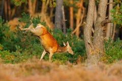 跳跃的马鹿, rutting季节, Hoge Veluwe,荷兰 鹿雄鹿,吼叫在木头,大之外的庄严强有力的成人动物 免版税库存图片