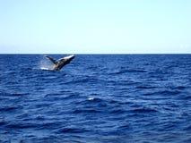 跳跃的驼背鲸 澳洲 免版税库存照片
