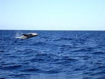 跳跃的驼背鲸 澳洲 库存照片