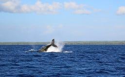 跳跃的鲸鱼 免版税库存图片