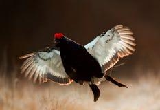 跳跃的黑松鸡 库存照片