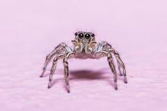 跳跃蜘蛛 免版税图库摄影