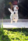 跳跃运动罗素狗 免版税库存图片