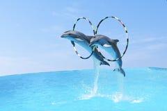 跳跃这两只大宽吻海豚宽吻海豚& x28; 拉特 Tursiops truncatus& x29;通过箍 免版税库存照片