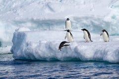 跳跃从冰山的Adelie企鹅 免版税库存照片