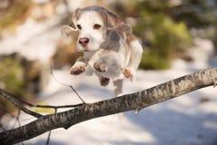 跳过下落的树的小猎犬 免版税库存照片