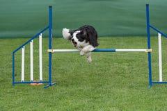 跳过在敏捷性comp的障碍的纯血统狗博德牧羊犬 免版税库存照片