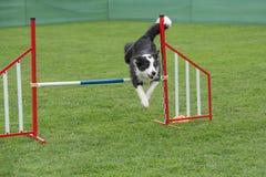跳过在敏捷性comp的障碍的纯血统狗博德牧羊犬 免版税图库摄影