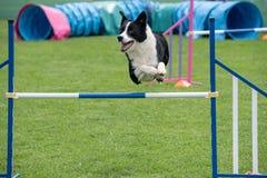 跳过在敏捷性comp的障碍的纯血统狗博德牧羊犬 免版税库存图片