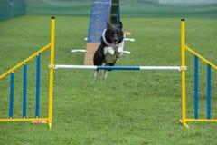 跳过在敏捷性comp的障碍的纯血统狗博德牧羊犬 库存照片