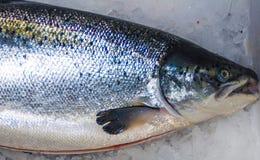 跳过在河塞弗恩的一个测流堰的大西洋三文鱼在萨罗普郡,英国 免版税库存图片