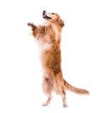 跳过-一白色backgorund的逗人喜爱的狗 免版税库存图片