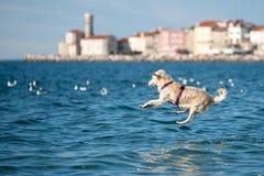 跳进海的金毛猎犬狗 免版税库存照片