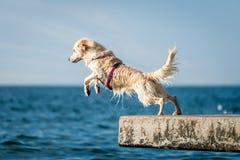 跳进海的金毛猎犬狗 免版税库存图片
