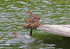 跳进湖的鸭子和鸭子 免版税库存图片