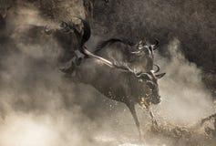 跳进玛拉河的角马 巨大迁移 肯尼亚 坦桑尼亚 马塞人玛拉国家公园 免版税库存图片