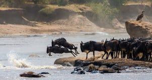 跳进玛拉河的角马 巨大迁移 肯尼亚 坦桑尼亚 马塞人玛拉国家公园 库存照片