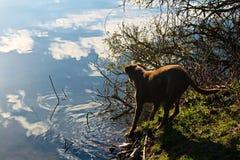 跳进的狗有天空的一个湖在水中完全仍然反射了 库存图片