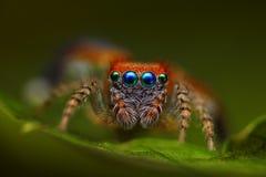 跳saitis西班牙语蜘蛛的barbipes 库存图片