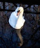 踌躇满志的天鹅。 免版税库存图片