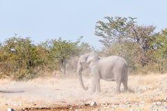 踢尘土的幼小非洲大象公牛在假装战斗期间 免版税库存照片