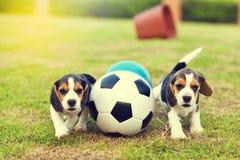 踢橄榄球的小的小猎犬 库存图片